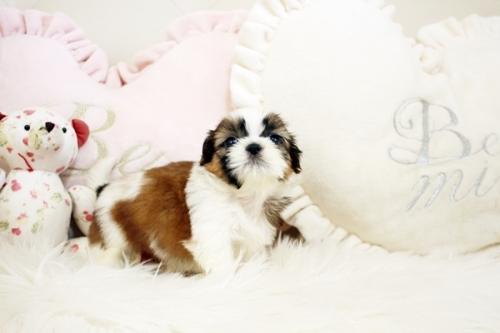 シーズーの子犬(ID:1255411843)の2枚目の写真/更新日:2018-01-17