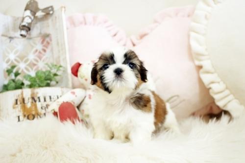 シーズーの子犬(ID:1255411843)の3枚目の写真/更新日:2018-01-17
