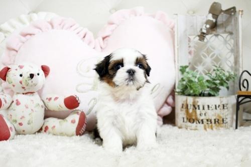 シーズーの子犬(ID:1255411844)の1枚目の写真/更新日:2020-07-06