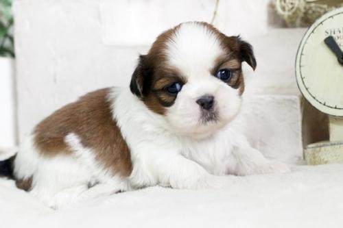 シーズーの子犬(ID:1255411845)の2枚目の写真/更新日:2018-01-17
