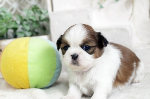 シーズーの子犬(ID:1255411845)の3枚目の写真/更新日:2018-01-17