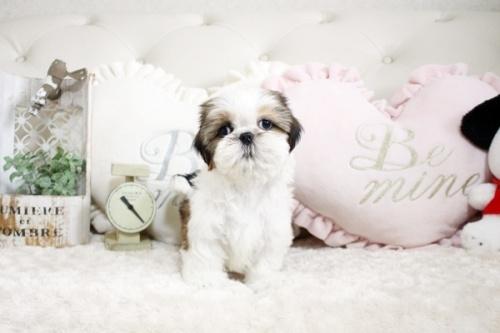シーズーの子犬(ID:1255411846)の1枚目の写真/更新日:2018-01-17