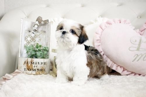 シーズーの子犬(ID:1255411846)の2枚目の写真/更新日:2018-01-17