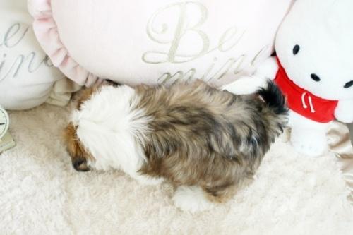 シーズーの子犬(ID:1255411846)の3枚目の写真/更新日:2018-01-17