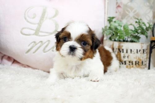 シーズーの子犬(ID:1255411847)の2枚目の写真/更新日:2020-07-06