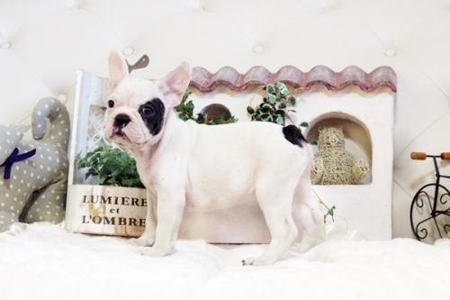 フレンチブルドッグの子犬(ID:1255411848)の1枚目の写真/更新日:2017-12-15
