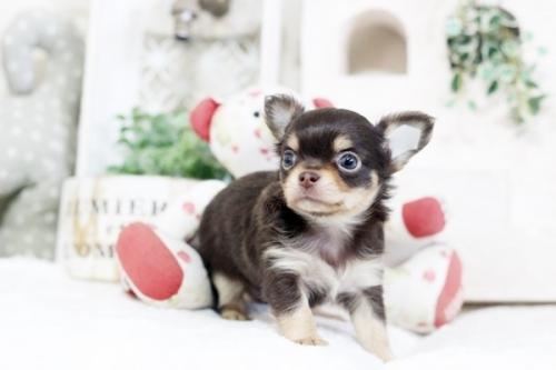 チワワ(ロング)の子犬(ID:1255411850)の1枚目の写真/更新日:2018-02-11