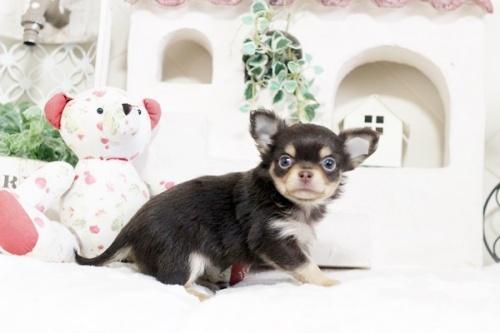 チワワ(ロング)の子犬(ID:1255411850)の2枚目の写真/更新日:2018-02-11