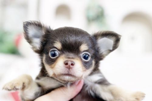 チワワ(ロング)の子犬(ID:1255411850)の3枚目の写真/更新日:2018-02-11