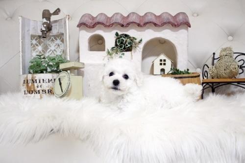 ビションフリーゼの子犬(ID:1255411851)の1枚目の写真/更新日:2017-12-15