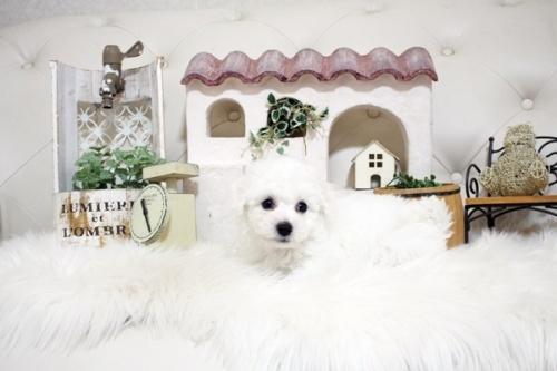 ビションフリーゼの子犬(ID:1255411851)の2枚目の写真/更新日:2017-12-15