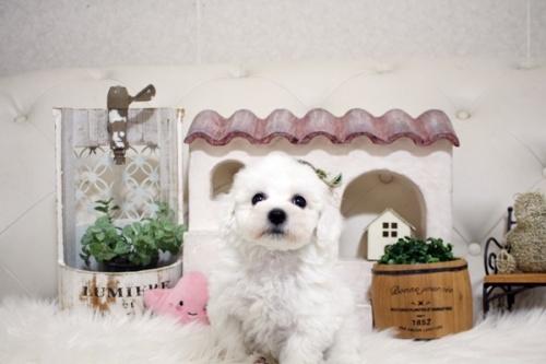 ビションフリーゼの子犬(ID:1255411852)の1枚目の写真/更新日:2018-01-17
