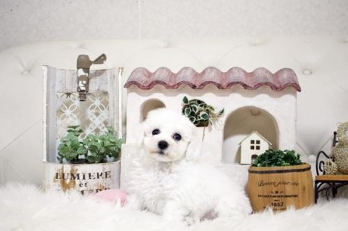 ビションフリーゼの子犬(ID:1255411852)の2枚目の写真/更新日:2018-01-17