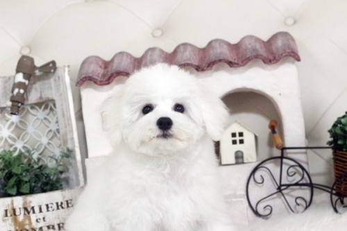 ビションフリーゼの子犬(ID:1255411853)の1枚目の写真/更新日:2017-12-15