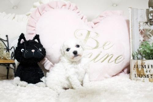 ビションフリーゼの子犬(ID:1255411853)の2枚目の写真/更新日:2017-12-15