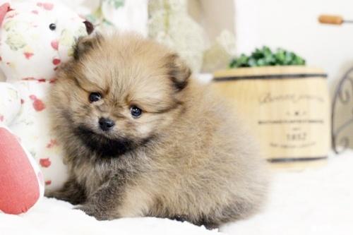 ポメラニアンの子犬(ID:1255411854)の1枚目の写真/更新日:2017-12-22