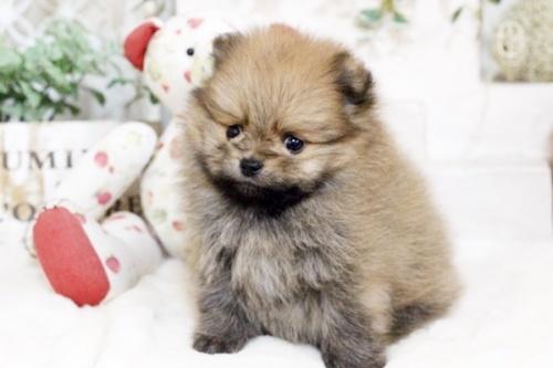 ポメラニアンの子犬(ID:1255411854)の2枚目の写真/更新日:2017-12-22