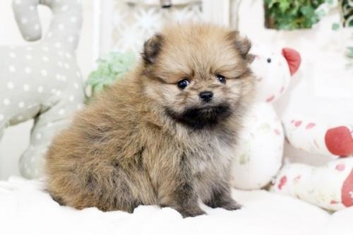 ポメラニアンの子犬(ID:1255411854)の3枚目の写真/更新日:2017-12-22