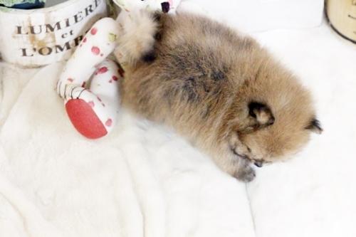 ポメラニアンの子犬(ID:1255411854)の4枚目の写真/更新日:2017-12-22