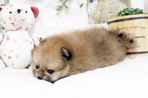 ポメラニアンの子犬(ID:1255411854)の5枚目の写真/更新日:2017-12-22