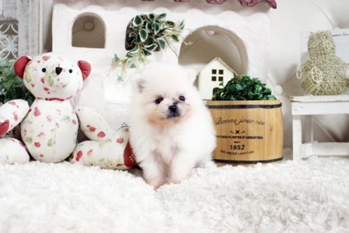 ポメラニアンの子犬(ID:1255411855)の1枚目の写真/更新日:2018-01-08