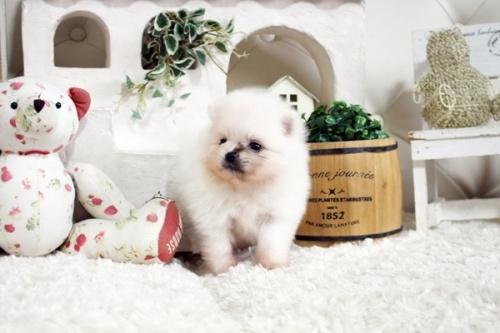 ポメラニアンの子犬(ID:1255411855)の2枚目の写真/更新日:2018-01-08