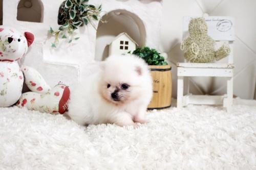 ポメラニアンの子犬(ID:1255411855)の3枚目の写真/更新日:2017-12-22