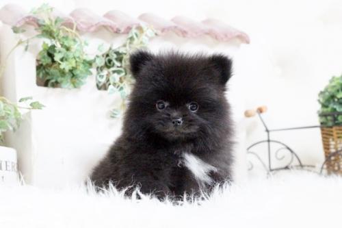 ポメラニアンの子犬(ID:1255411856)の1枚目の写真/更新日:2018-01-08