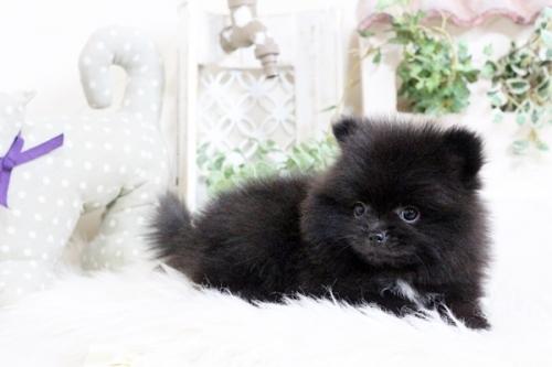 ポメラニアンの子犬(ID:1255411856)の2枚目の写真/更新日:2018-01-08