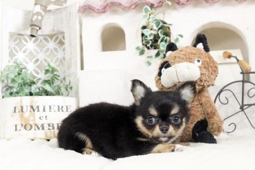 チワワ(ロング)の子犬(ID:1255411858)の1枚目の写真/更新日:2018-01-17