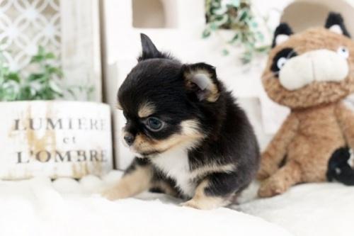 チワワ(ロング)の子犬(ID:1255411858)の2枚目の写真/更新日:2018-01-17