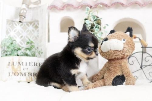 チワワ(ロング)の子犬(ID:1255411858)の3枚目の写真/更新日:2018-01-17