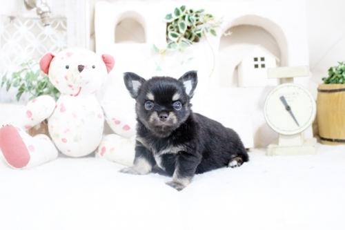 チワワ(ロング)の子犬(ID:1255411859)の1枚目の写真/更新日:2018-12-07