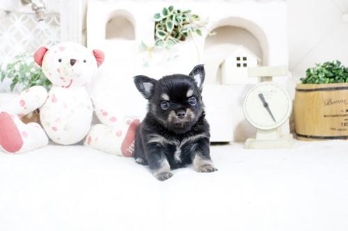 チワワ(ロング)の子犬(ID:1255411859)の2枚目の写真/更新日:2018-12-07