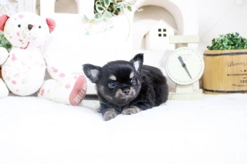 チワワ(ロング)の子犬(ID:1255411859)の3枚目の写真/更新日:2018-05-28