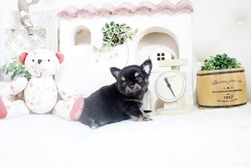 チワワ(ロング)の子犬(ID:1255411859)の4枚目の写真/更新日:2018-05-28