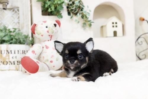 チワワ(ロング)の子犬(ID:1255411860)の1枚目の写真/更新日:2017-12-22