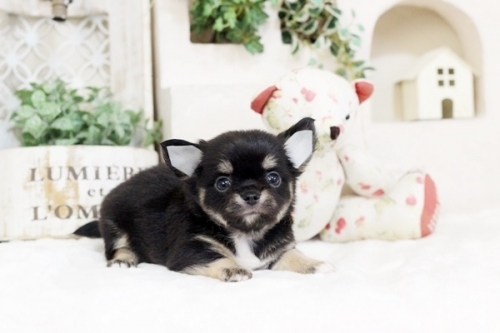 チワワ(ロング)の子犬(ID:1255411860)の2枚目の写真/更新日:2017-12-22