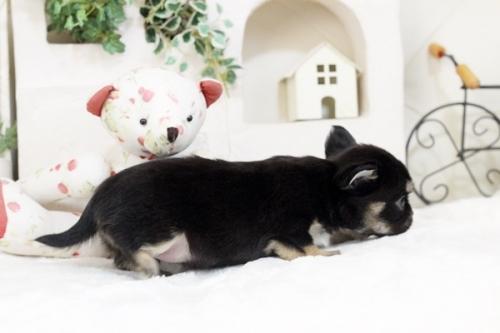 チワワ(ロング)の子犬(ID:1255411860)の3枚目の写真/更新日:2017-12-22