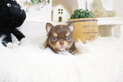 チワワ(ロング)の子犬(ID:1255411861)の1枚目の写真/更新日:2018-07-03