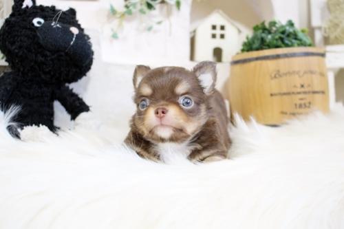 チワワ(ロング)の子犬(ID:1255411861)の2枚目の写真/更新日:2017-12-22