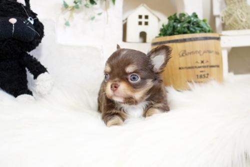 チワワ(ロング)の子犬(ID:1255411861)の3枚目の写真/更新日:2017-12-22