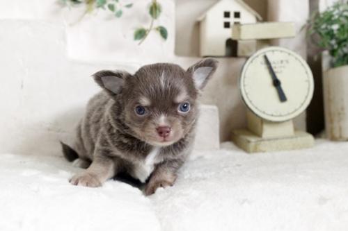 チワワ(ロング)の子犬(ID:1255411862)の1枚目の写真/更新日:2017-12-22
