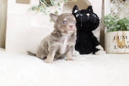 チワワ(ロング)の子犬(ID:1255411862)の2枚目の写真/更新日:2017-12-22
