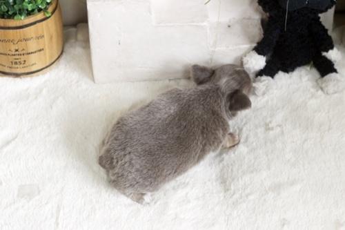チワワ(ロング)の子犬(ID:1255411862)の3枚目の写真/更新日:2017-12-22