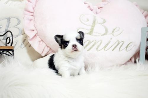 チワワ(ロング)の子犬(ID:1255411863)の1枚目の写真/更新日:2017-12-22