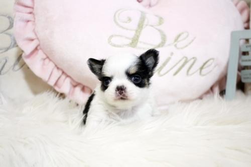 チワワ(ロング)の子犬(ID:1255411863)の2枚目の写真/更新日:2017-12-22