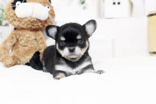 チワワ(ロング)の子犬(ID:1255411864)の1枚目の写真/更新日:2017-12-22