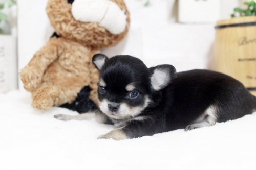 チワワ(ロング)の子犬(ID:1255411864)の2枚目の写真/更新日:2017-12-22