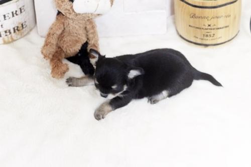 チワワ(ロング)の子犬(ID:1255411864)の3枚目の写真/更新日:2017-12-22